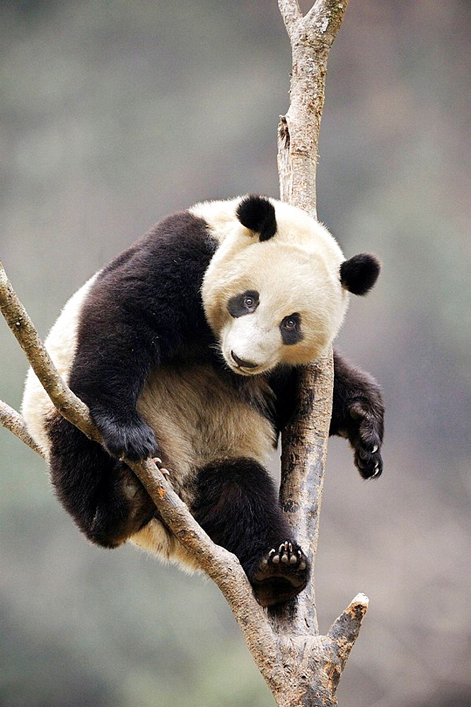 Subadult giant panda climbing in a tree (Ailuropoda melanoleuca) Wolong Nature Reserve, China - 817-184232