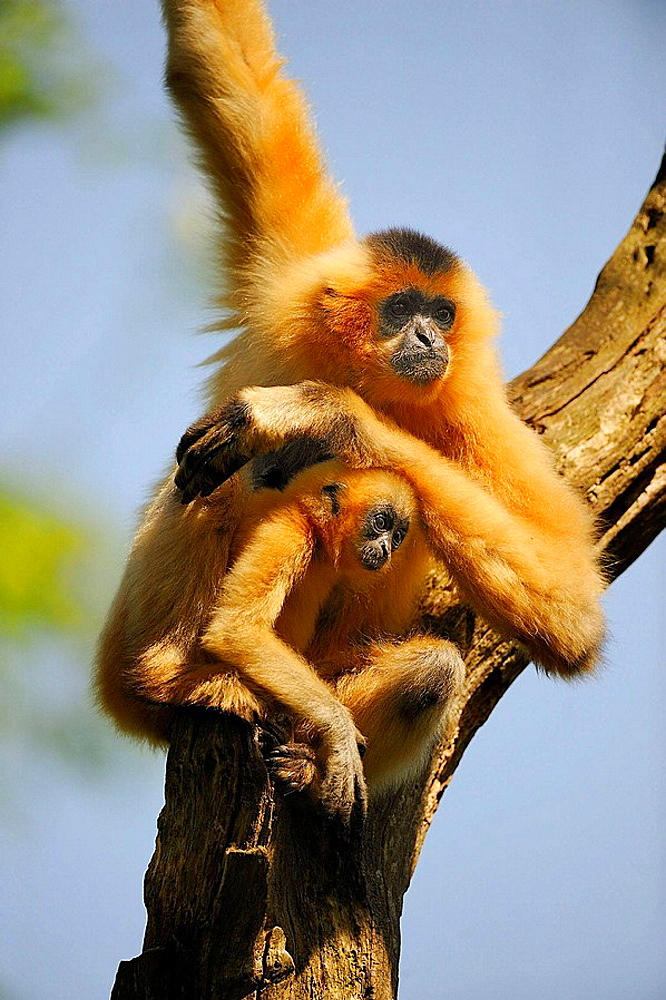 Yellow checked crested gibbon (Nomascus gabriellae), mother and baby, captive, IUCN Red list Vulnerable VU