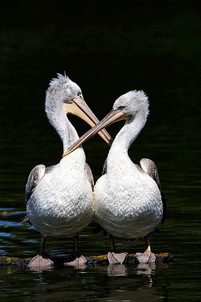 Two Dalmatian pelican grooming on water (Pelecanus crispus) IUCN red list of endangered species VU, vulnerable, seabird