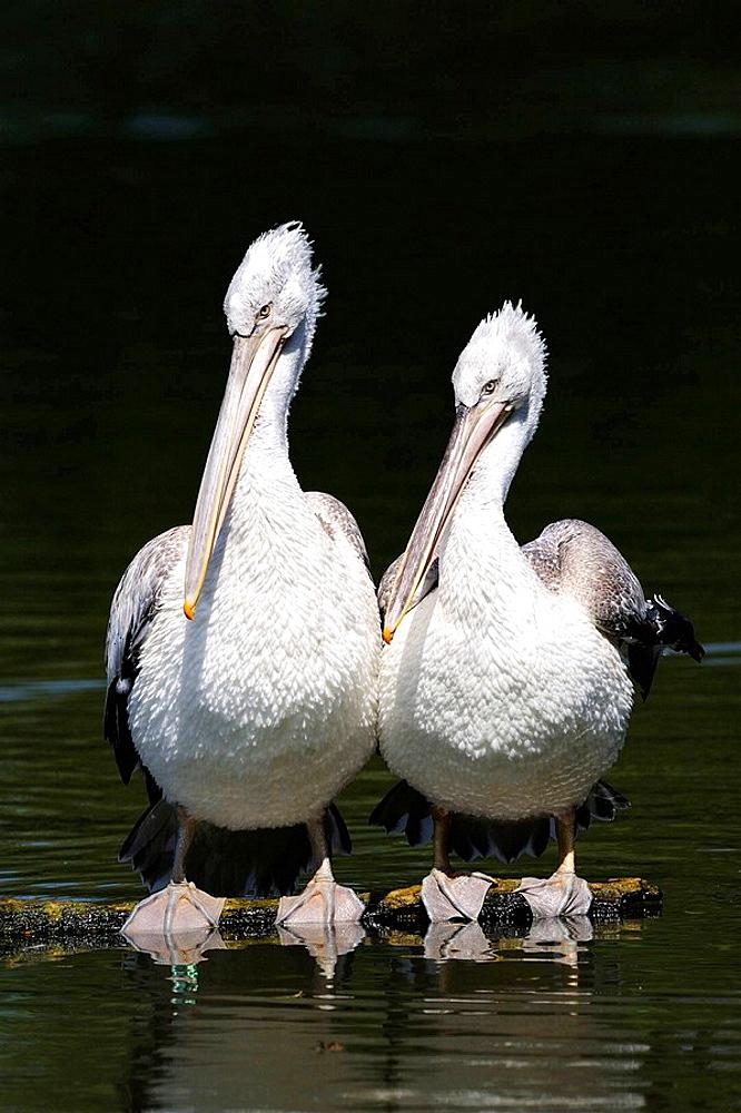 Two Dalmatian pelican on water (Pelecanus crispus) IUCN red list of endangered species VU, vulnerable, seabird