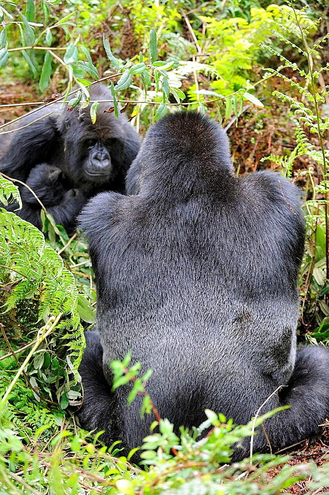 Mountain gorilla family (Gorilla beringei beringei) Volcanoes National Park, Rwanda, Africa - 817-184399