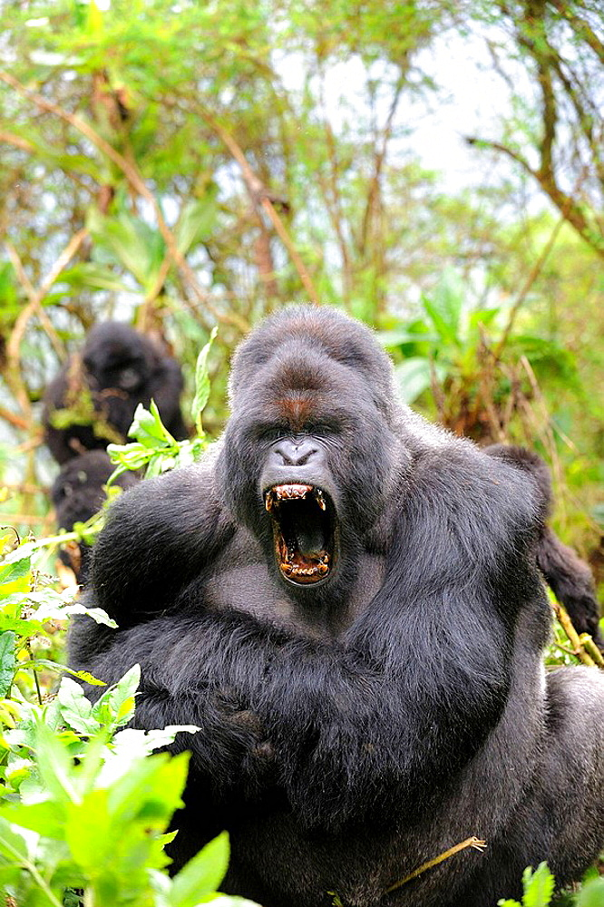 Male silverback mountain gorilla yawning (Gorilla beringei beringei) Volcanoes National Park, Rwanda, Africa - 817-184417