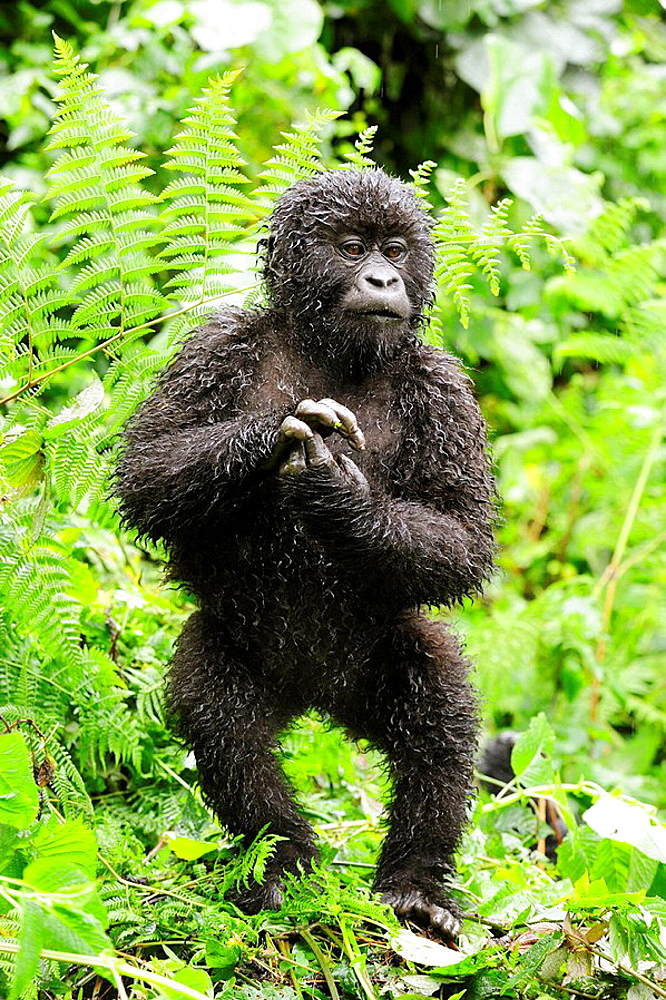 Young mountain gorilla standing up in the rain  (Gorilla beringei beringei) Volcanoes National Park, Rwanda, Africa