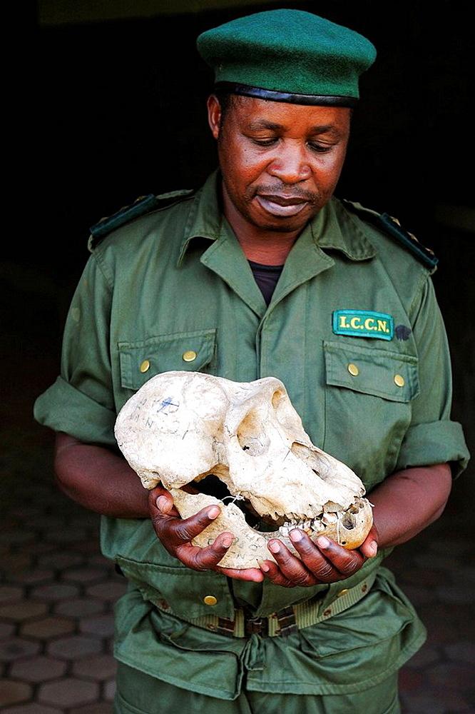 Guard holding a cranium of silverback eastern lowland gorilla in his hands, Kahuzi Biega Park (Gorilla beringei graueri) Democratic  Republic of Congo, Africa - 817-184534