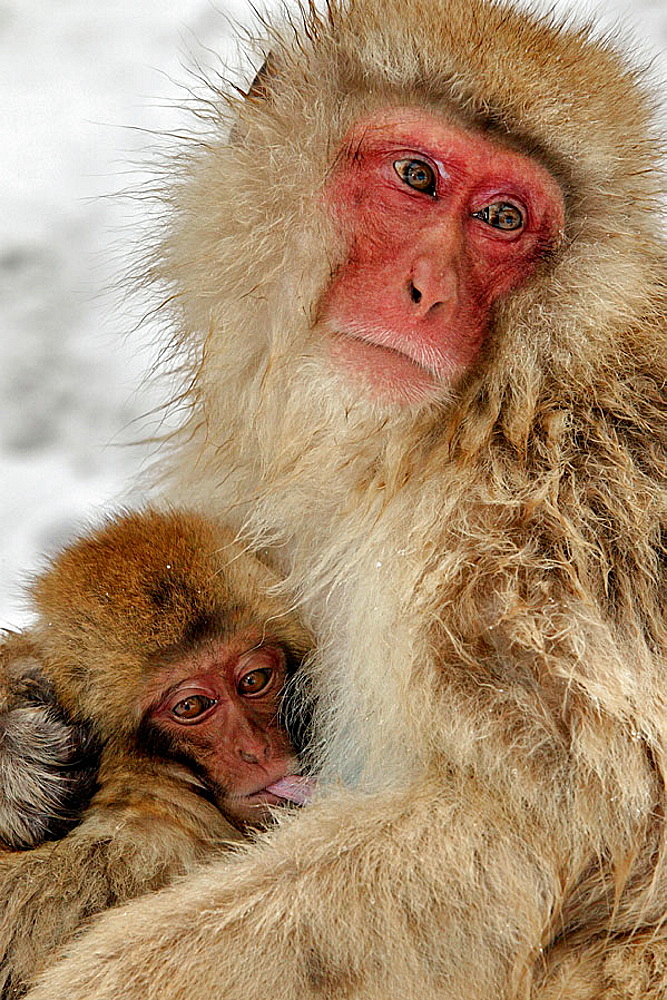 Snow Monkey, Macaca fuscata warming each other in winter.