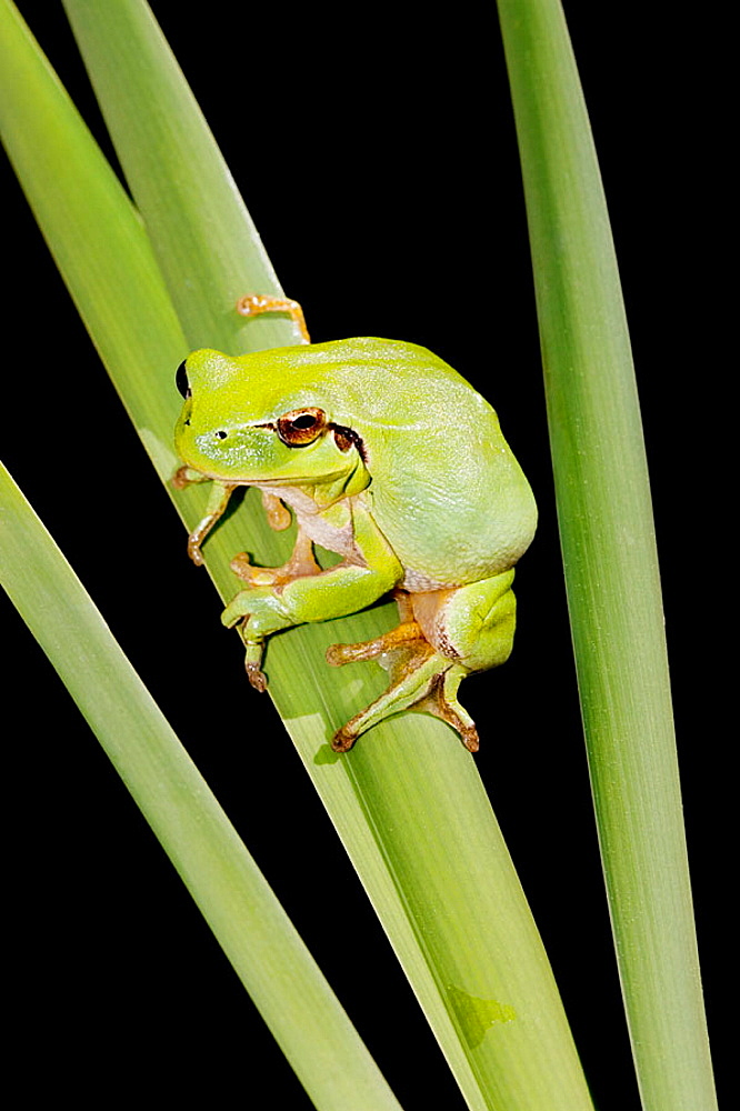 Stripeless treefrog, Hyla meridionalis, Provence avril 2006, France.
