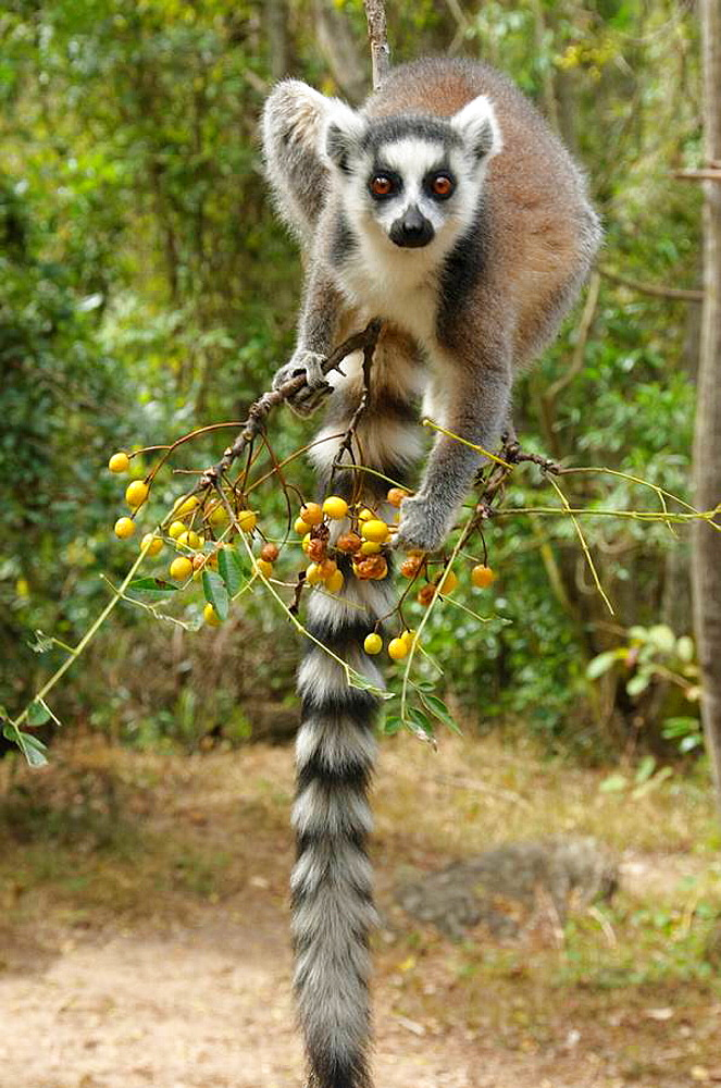 ring tailed lemur catta in Isalo National Park Madagascar