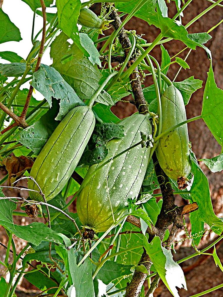 Fruit of a Sponge Gourd Luffa cylindrica plant