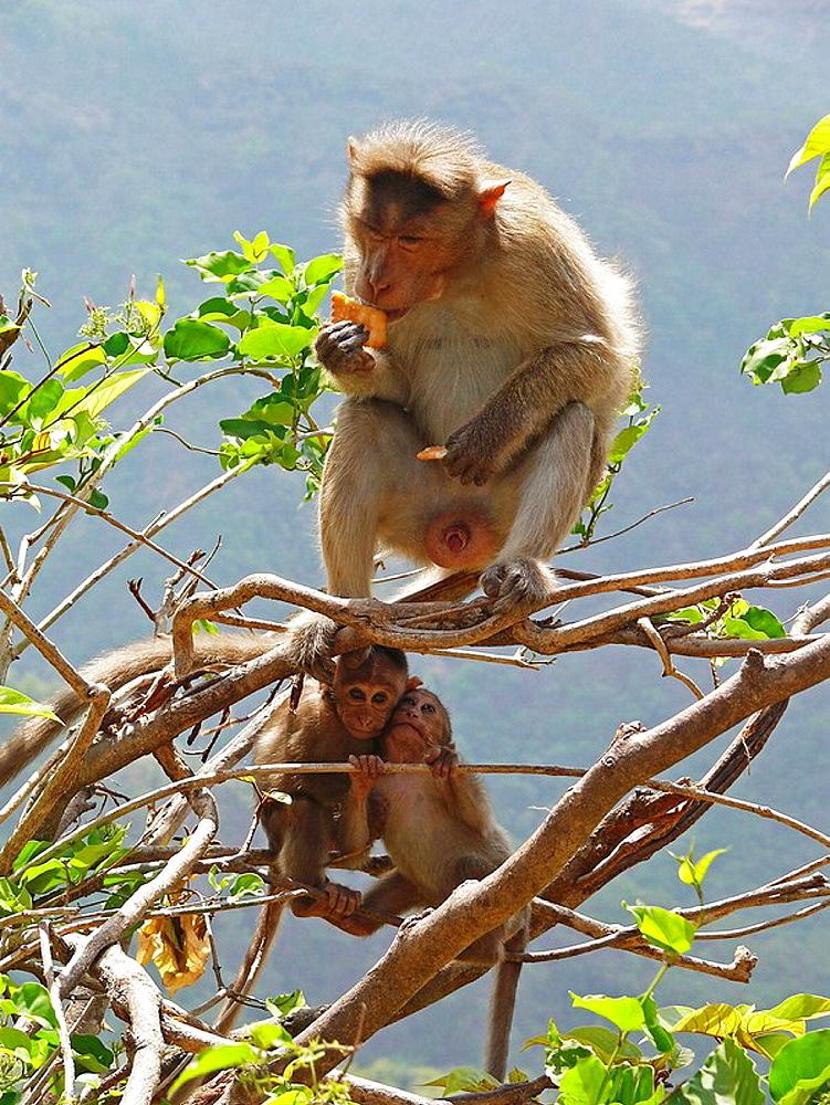 Bonnet monkey Macaca radiata sitting and eating with Babies at Kumbharli Ghat, Maharashtra, India
