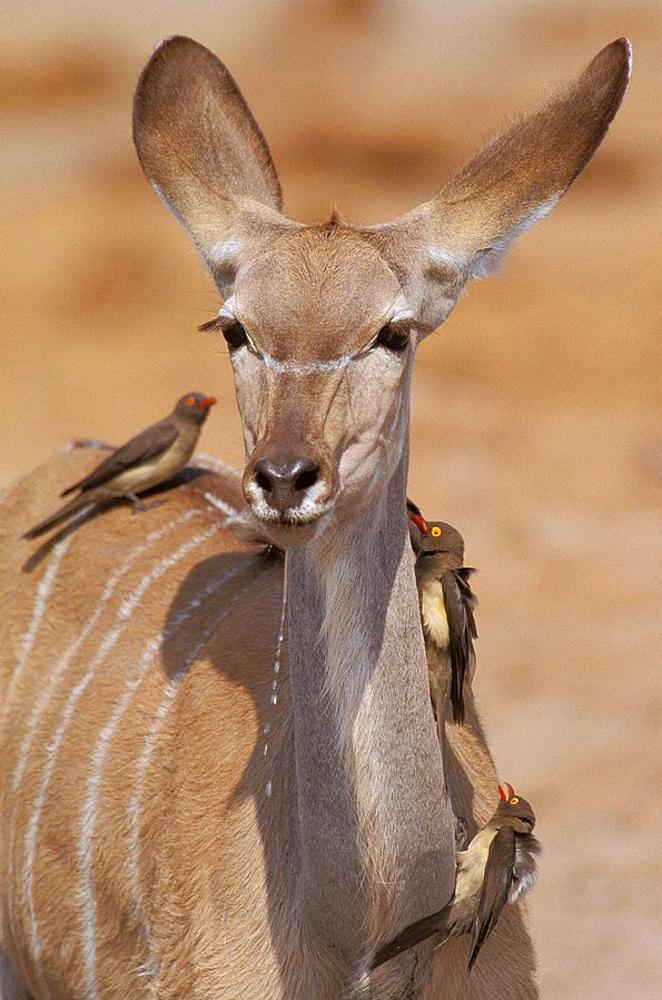 Kudu (Tragelaphus strepsiceros) with Oxpecker