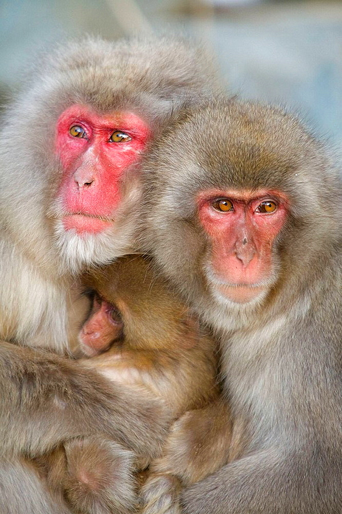 Japanese Snow Monkey (Macaca fuscata) - 817-191223