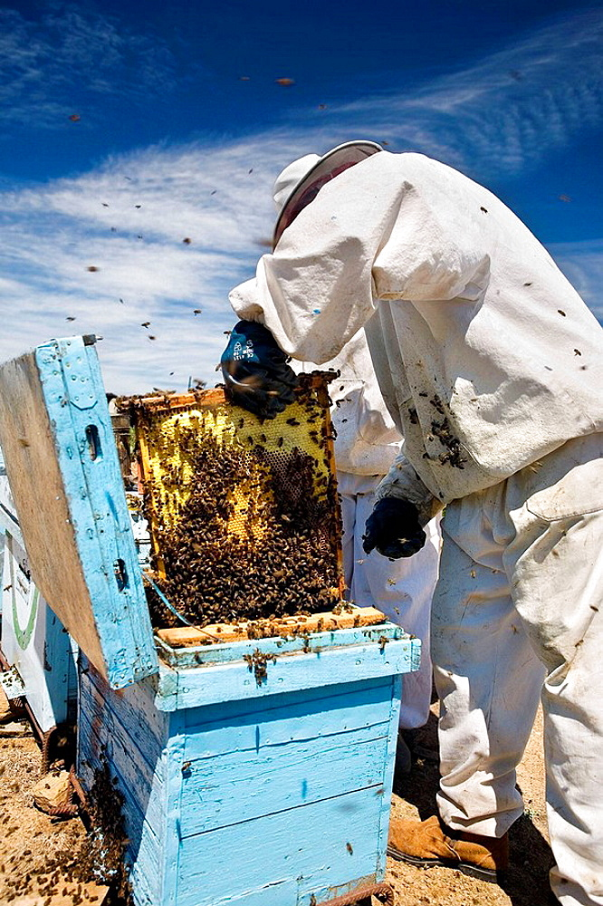 Beekeeper working with hives, Beekeeping in the Arribes del Duero Natural Park, Hinojosa del Duero, Salamanca, Castilla y Leon, Spain