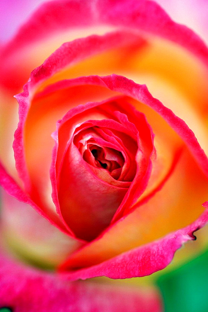 Macro of flowers, Rose in orange, yellow, pink and red colors