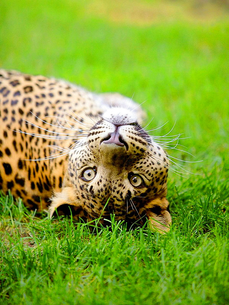 Panther portrait on the green grass