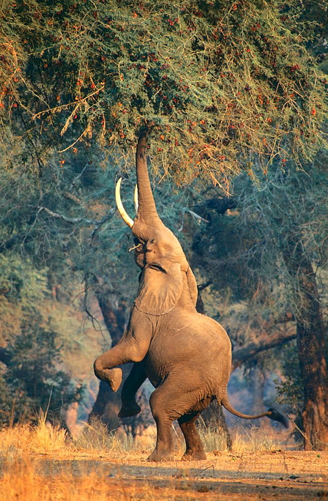 Elephant, Mana Pools NP, Zimbabwe