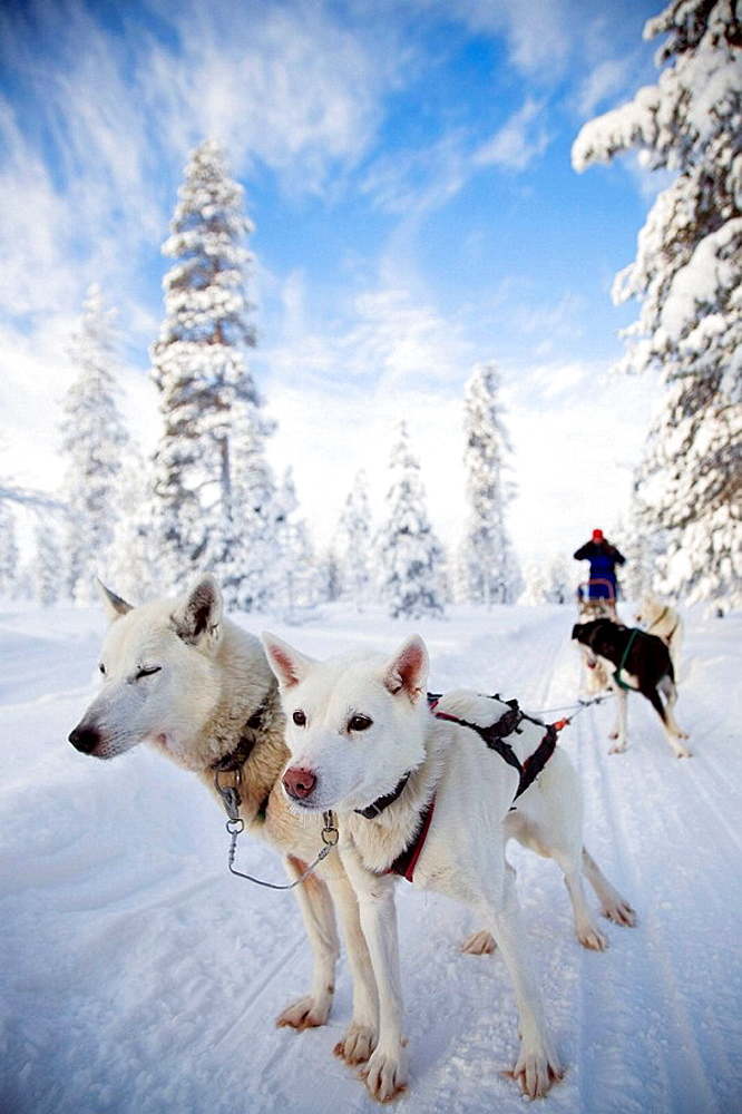 Finland, Lapland, sled - 817-198568