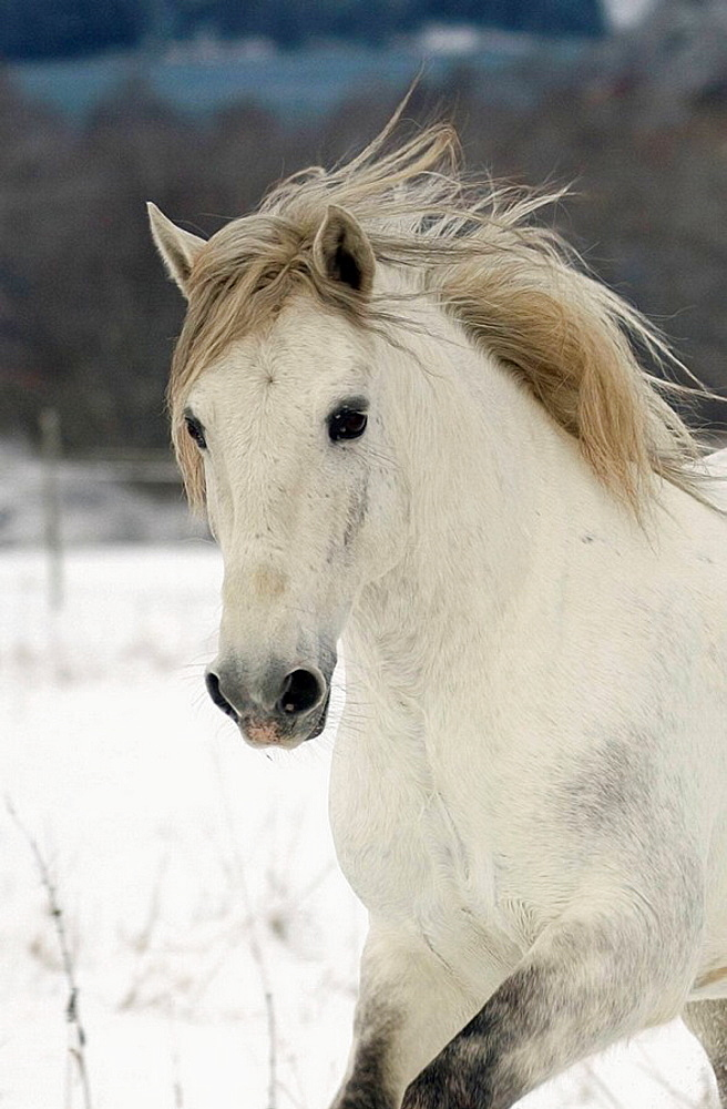 Lusitano horse in snow, Sweden