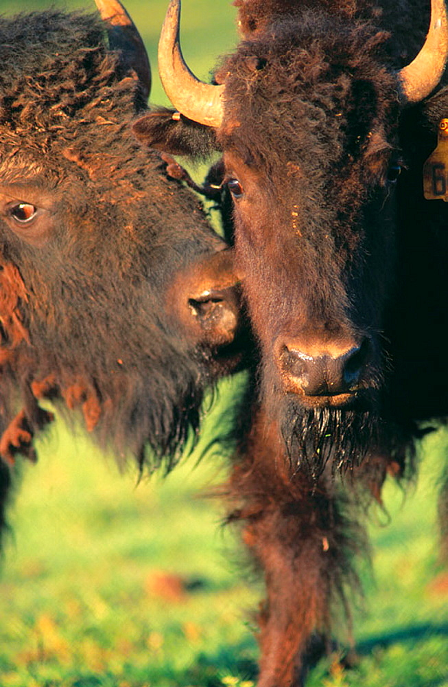 Commercially raised Bisons, Willamette, OR, USA