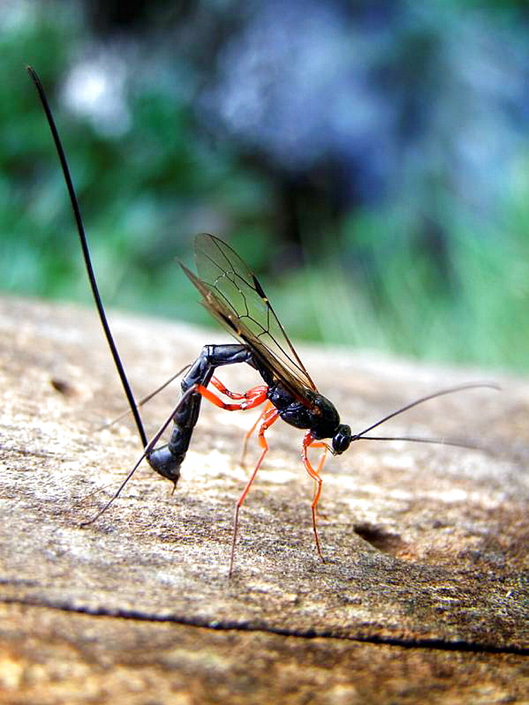 Ichneumon wasp (Megarhyssa spp) laying an egg through its ovipositor into a pigeon horntail wasp (Tremex columba) larval tunnel on a dead American elm tree (Ulmus americana)