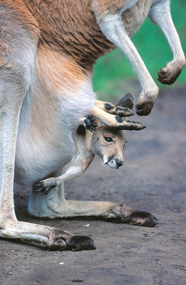 Red Kangaroos (Macropus rufus), captive