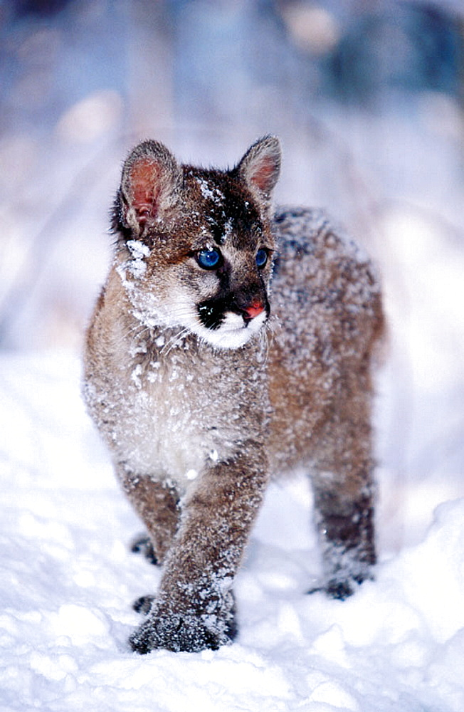 Baby Mountain Lion (female, 3 months old) (controlled / captive animal) in winter snow, Felis concolor, Vermont, USA
