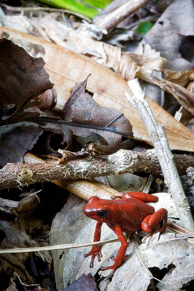 Strawberry poison-dart frog, Dendrobates pumilio  Photographed in Costa Rica