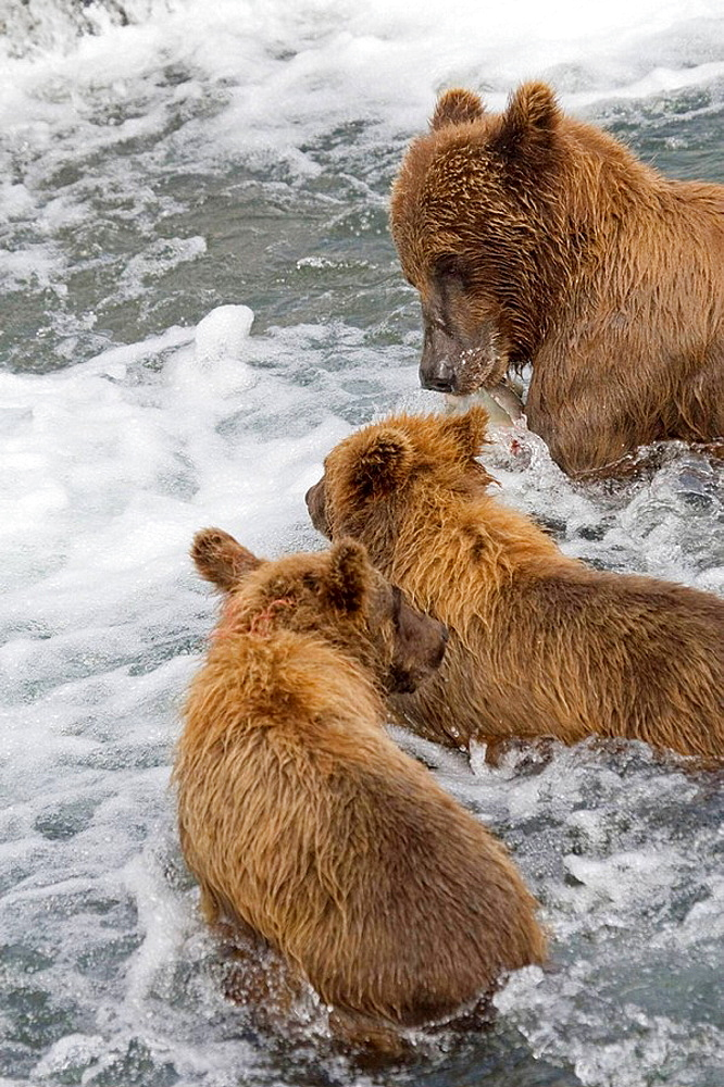 Grizzly Bear mom and her cubs with a fresh catch of salmon in Katmai National Park, Alaska, USA