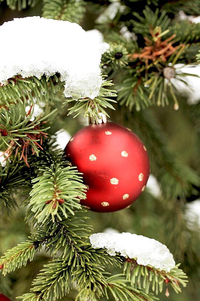 Red Christmas ball on snowy fir tree A gold ball hangs on a snow covered fir tree
