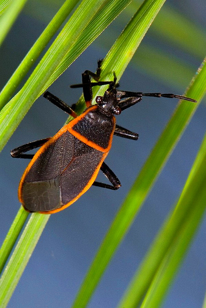 Seed Bug (Neacoryphus lateralis)