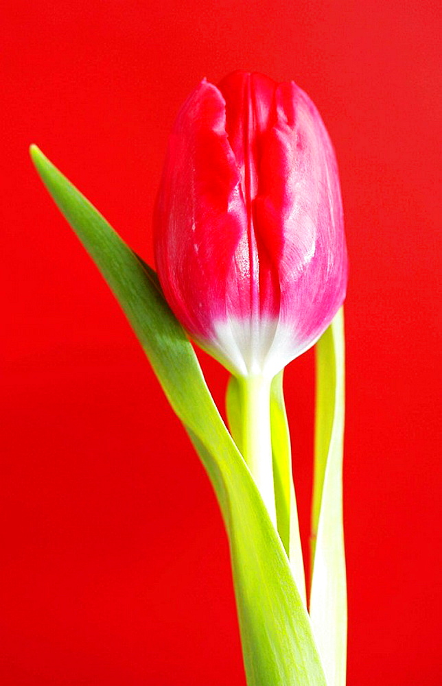 Red Tulip Tulipa on red background