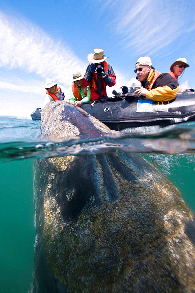 California Gray Whale Eschrichtius robustus underwater in San Ignacio Lagoon on the Pacific side of the Baja Peninsula, Baja California Sur, Mexico  Each winter thousands of California gray whales migrate from the Bering and Chuckchi seas to breed an - 817-217202
