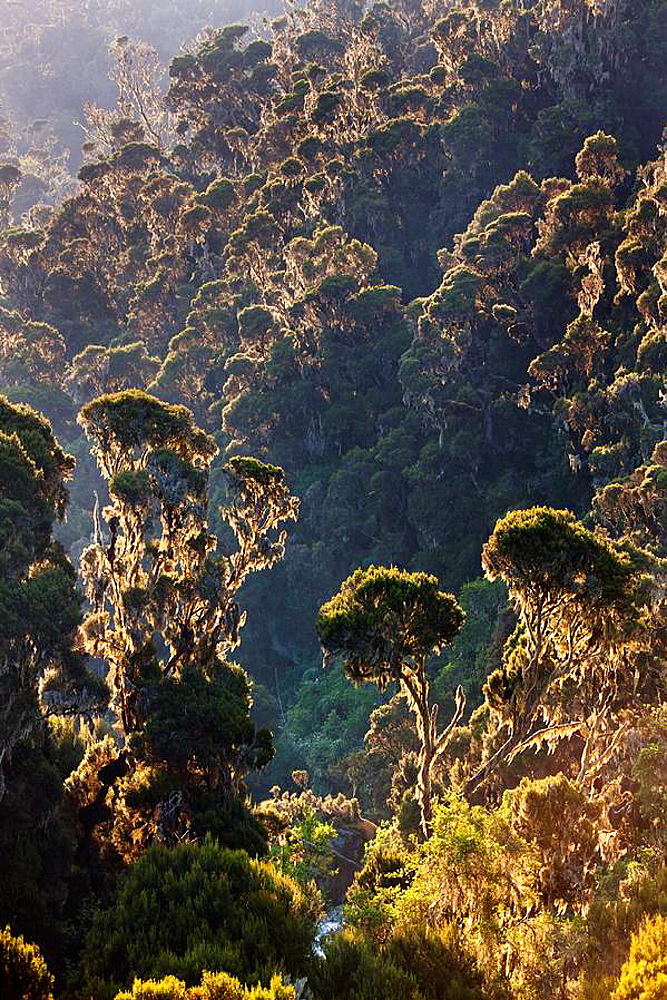Dense Rain forest of Giant Heather trees Erica trimera, Erica kingaensis with lichen Usnea in Mobuku Valley 3500m in Rwenzori Mts Africa, East Africa, Uganda, Rwenzori, January 2009