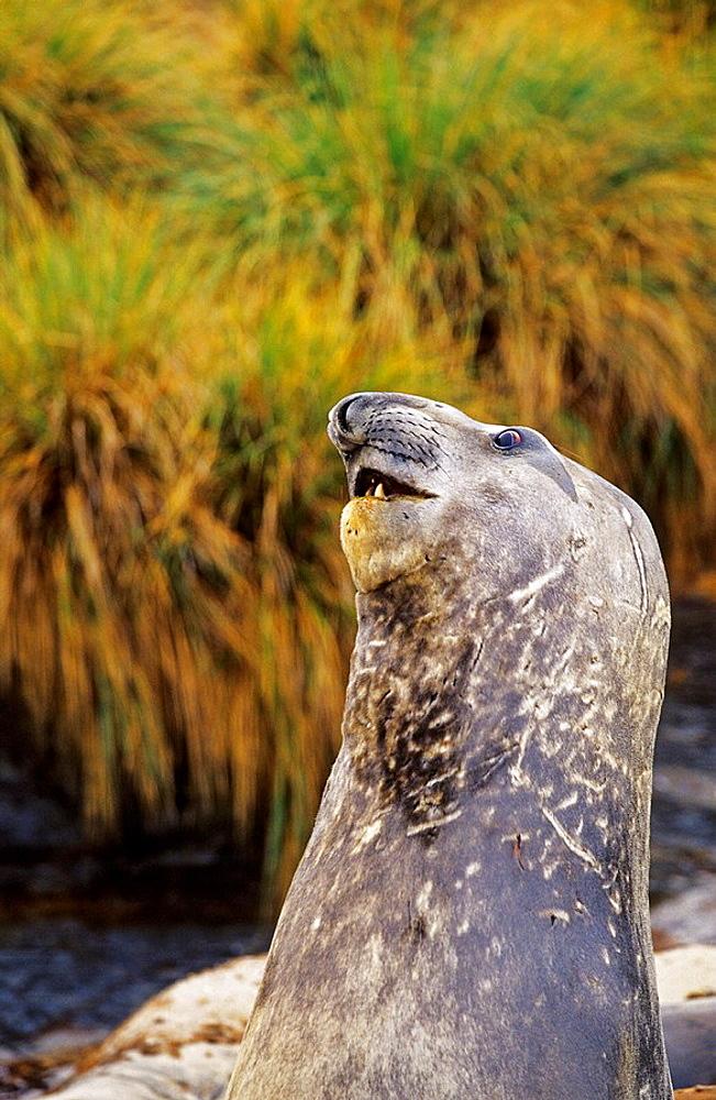 Southern Elephant Seal bulls in mock fight in moulting season, Falkland Islands, January 2003