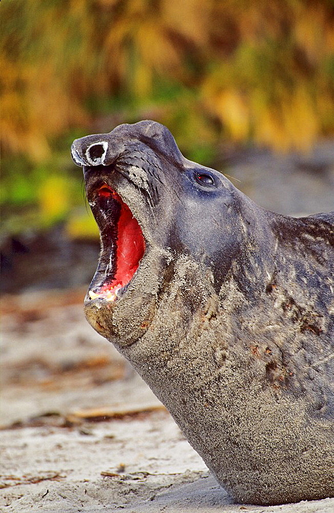 Southern Elephant Seal bull mouth wide open in threat or fear display on beach during moulting season, Falkland Islands, January 2003