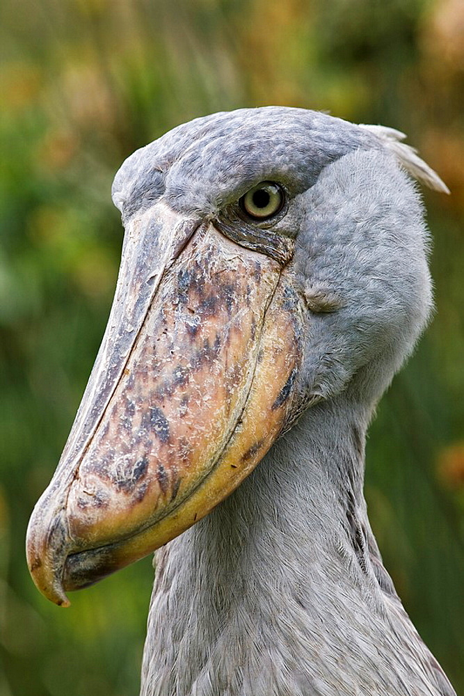 Shoebill Balaeniceps rex portrait  Uganda, Entebbe, Uganda Wildlife Education Centre - 817-217733