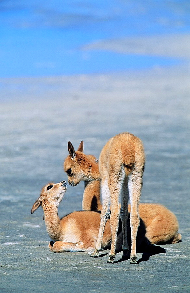 Vicuna Vicugna vicugna, Altiplano, Chile  group of a calfs Vicuna are living in the cold Altiplano of the Andes Mountains  Their wool is one of the finest and most expensive natural fibers world wide  During the times of the Inca only kings and high