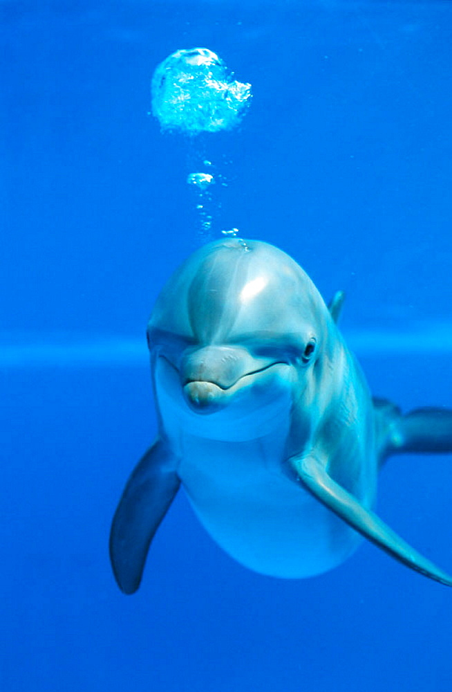 Young Bottlenose Dolphin (Tursiops truncatus) - 817-2221