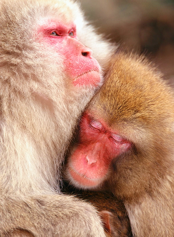 Japanese macaques (Macaca fuscata), Japan - 817-2236
