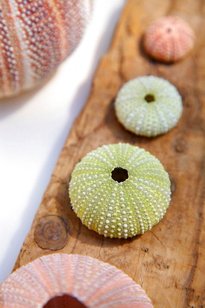 Sea urchins on driftwood