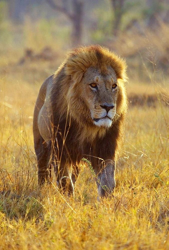 Lion (Panthera leo) _ Male, Moremi Game Reserve, Okawango delta, Botswana