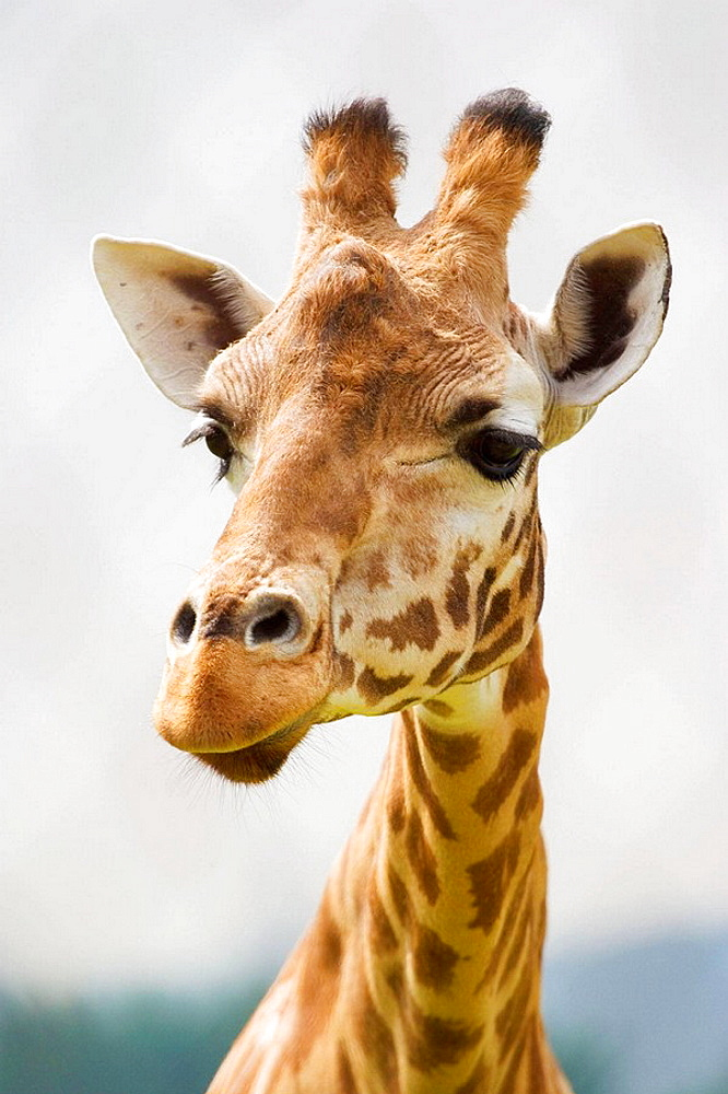 Giraffe Giraffa camelopardalis portrait, controlled conditions