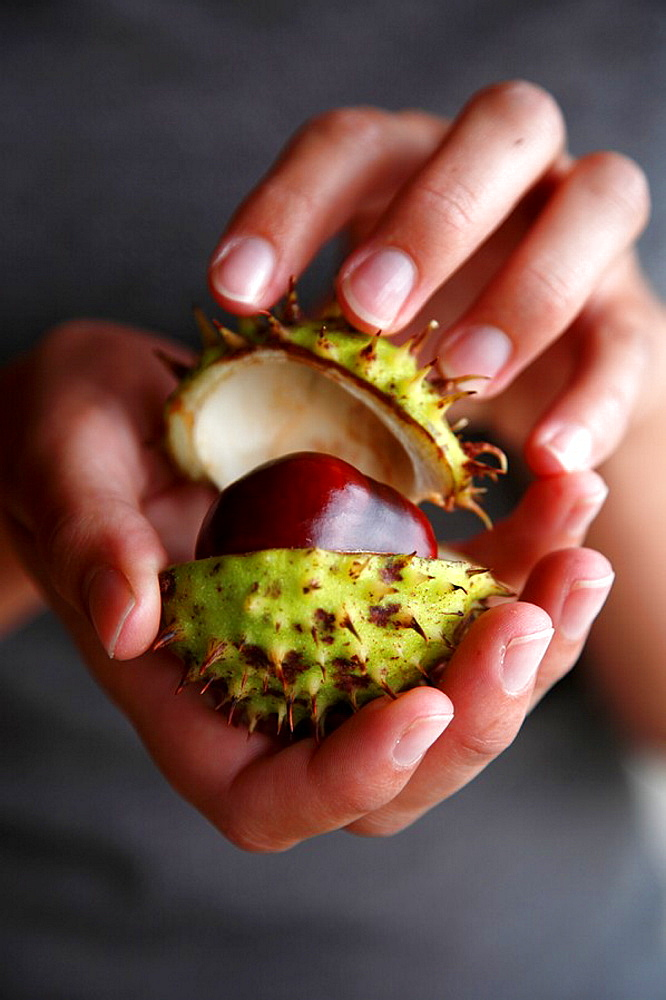 A pair of hands holding a horse chestnut or conker - 817-232669