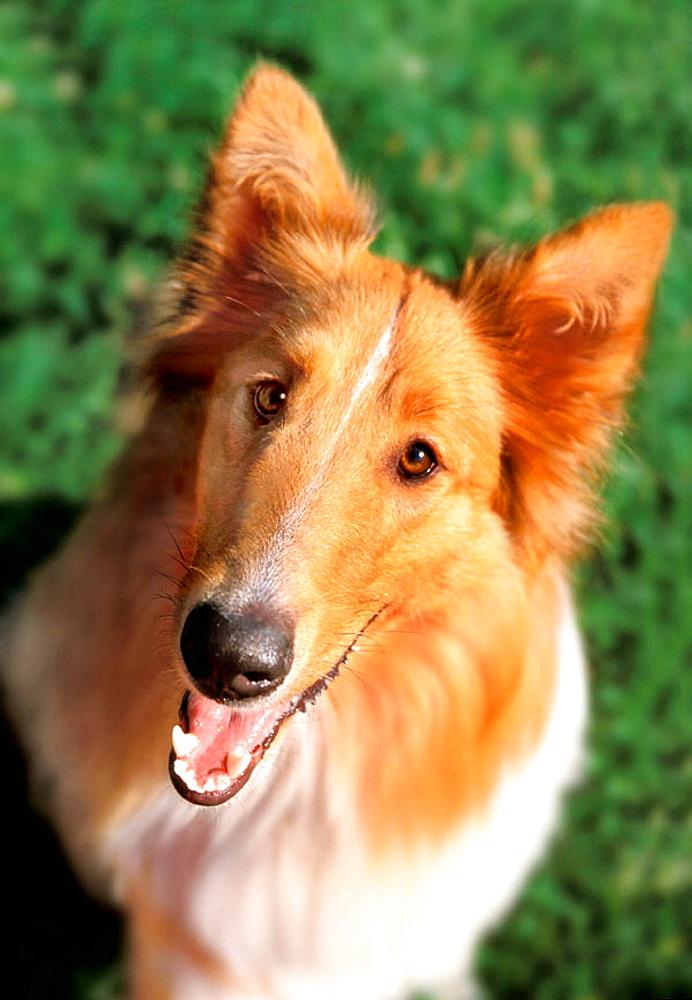 Collie dog - 817-234629