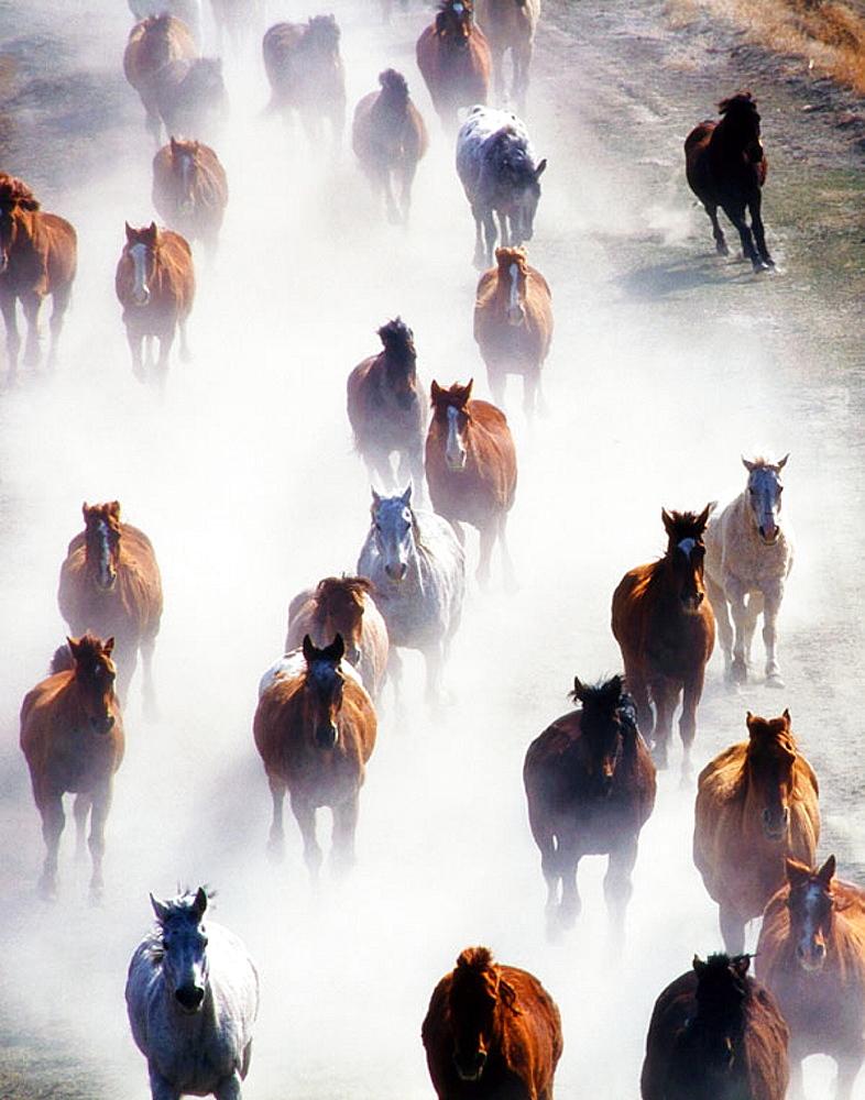 Galloping horses at ranch, Wyoming, USA