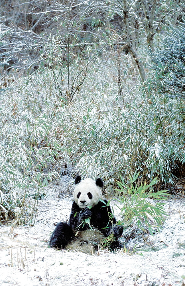 Giant Panda (Ailuropoda melanoleuca) captive at panda centre, Wolong Valley, Himalaya, China