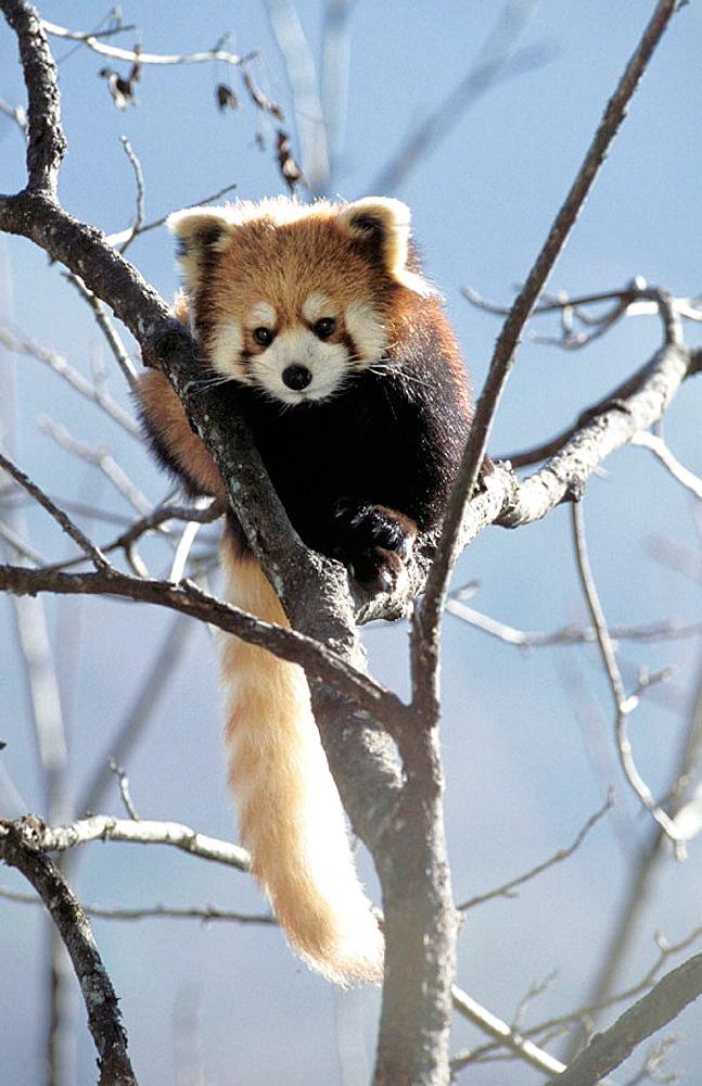 Red Panda (Ailurus fulgens) captive at panda centre, Wolong Valley, Himalaya, China - 817-242742