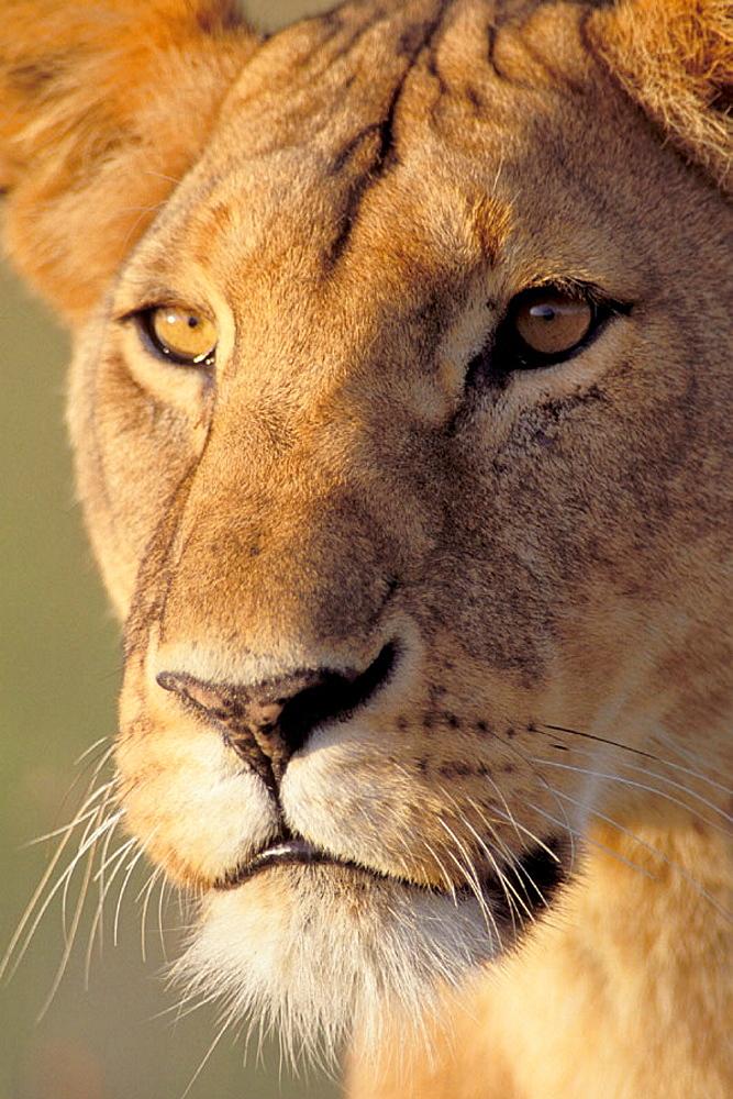 Lion (Panthera leo), Masai Mara wildlife reservation, Kenya - 817-242876