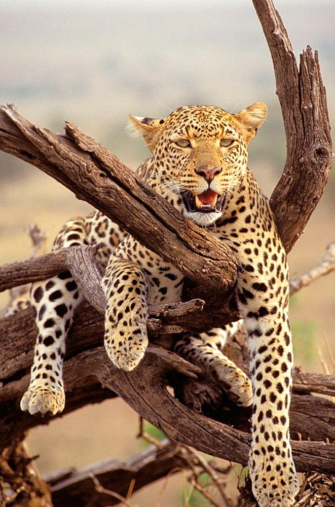 Leopard (Panthera pardus), female, Masai Mara, Kenya