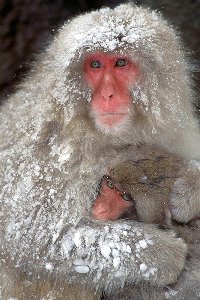 Japanese Macaque (Macaca fuscata), Shiga Kogen, Joshinetsu Kogen National Park, Japan