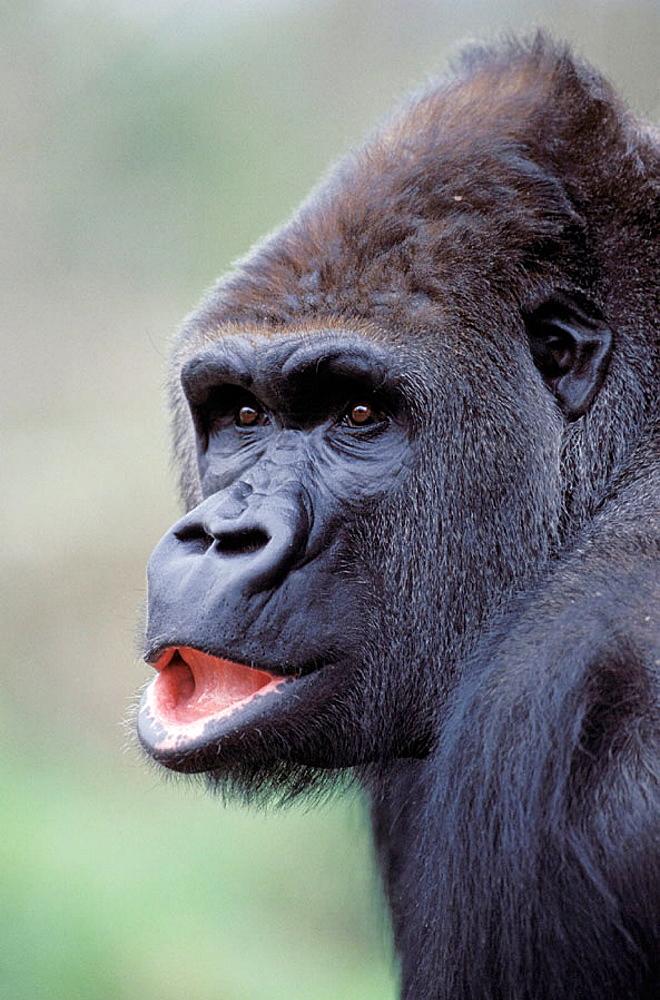 Western Lowland Gorilla (Gorilla gorilla gorilla) in captivity - 817-242972